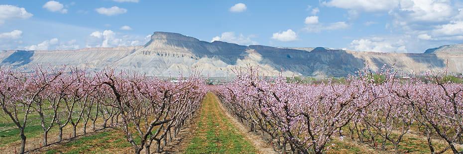 orchard-in-Palisade-in-spring