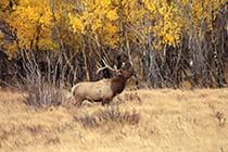 elk-bugling-among-Colorado-aspen-trees
