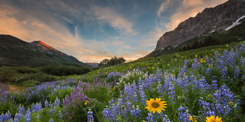 purple-wildflowers-at-the-base-of-Colorado-mountains