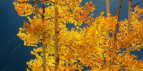 aspen-tree-with-yellow-leaves-against-blue-sky