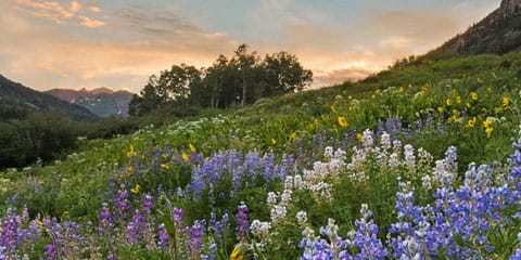 Colorado wildflowers and mountains