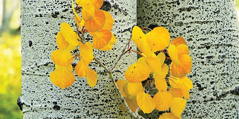 Colorado-aspen-tree-with-gold-leaves