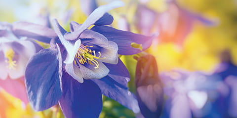 Columbine-flower-in-Colorado
