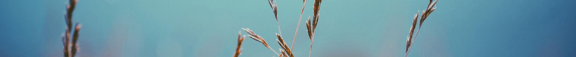 wheat grass against blue sky