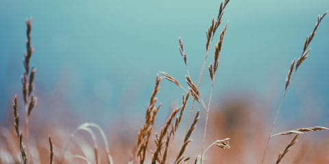 wheat grass in the forground