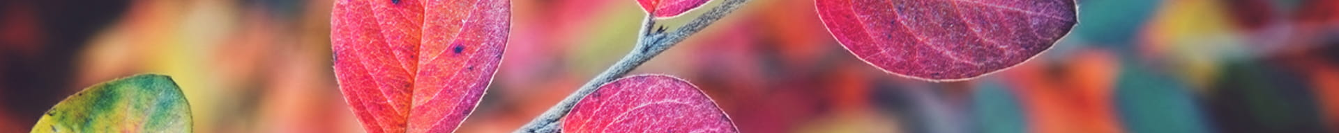 close up photo of an aspen tree during fall