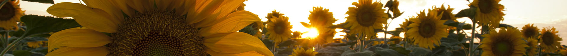 a-field-of-large-sunflowers