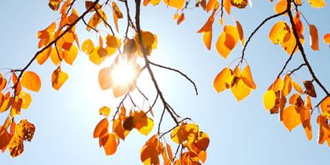 aspen tree branch
