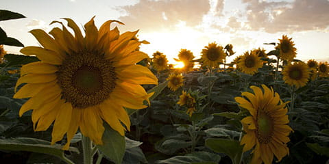 field-of-large-sunflowers