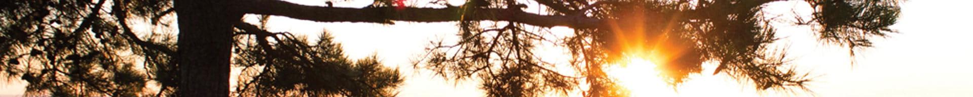 sun glaring through the dark trees