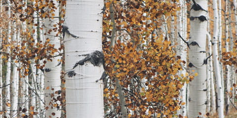 a close up of aspen trees in the fall
