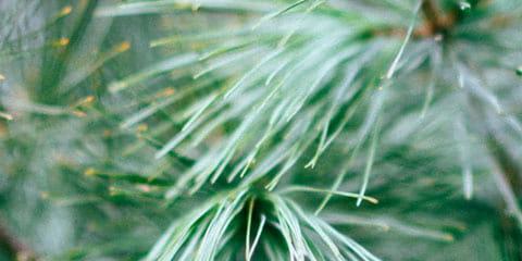 a pine tree up close
